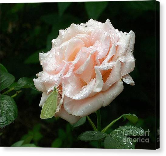 Dewdrops On A Rose Canvas Print by Addie Hocynec