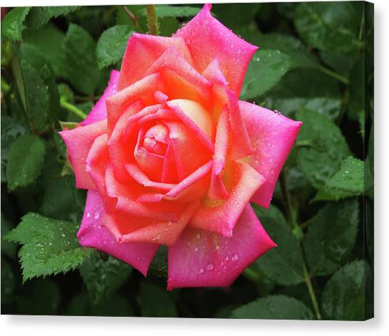 Dewy Rose Canvas Print