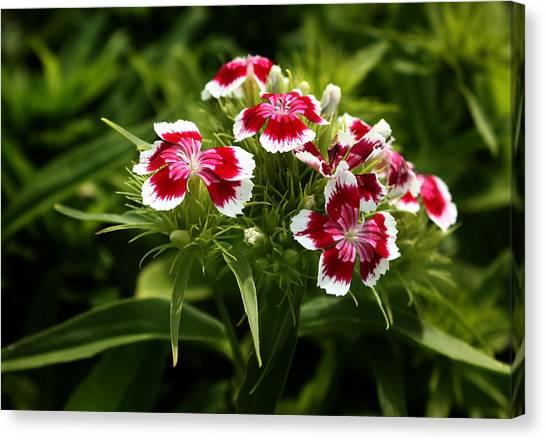 Dianthus Barbatus Canvas Print