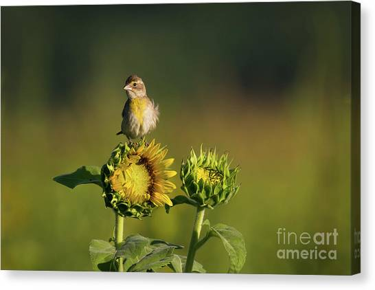 Dickcissel Sunflower Canvas Print
