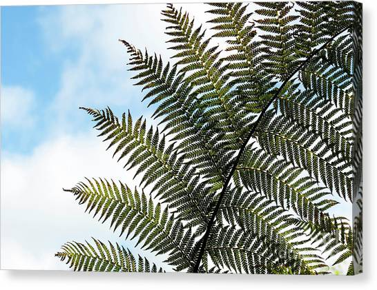 Antarctica Canvas Print -  Dicksonia Frond by Tim Gainey