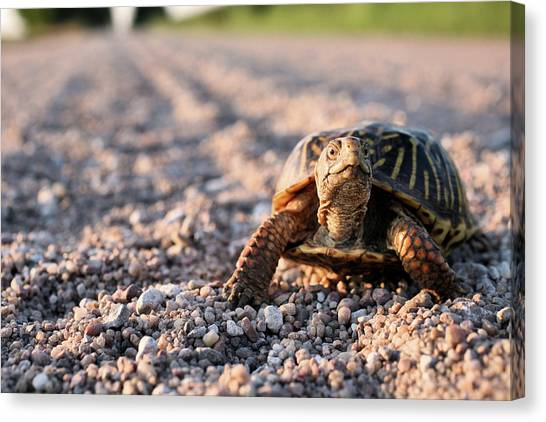 Box Turtles Canvas Print - Did I Win The Race by JC Findley