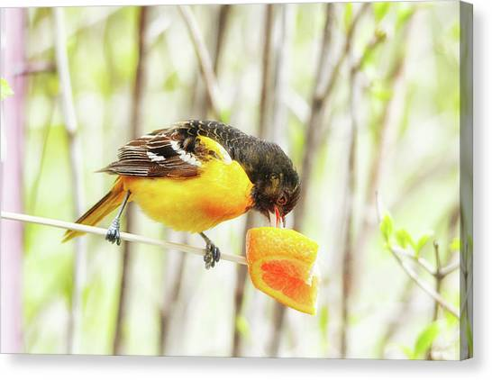 Orioles Canvas Print - Digging Right In by Susan Capuano