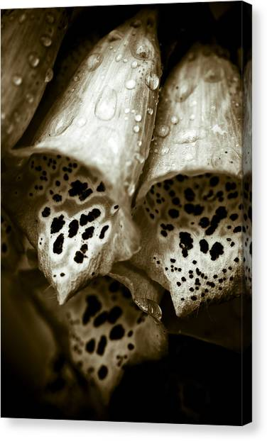 Digitalis Canvas Print by Frank Tschakert