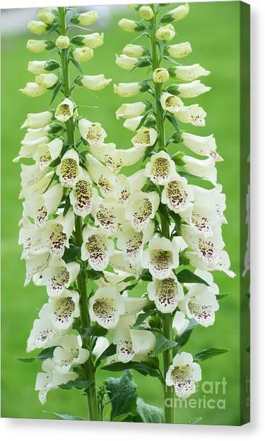 Foxglove Flowers Canvas Print - Digitalis Purpurea Primrose Carousel by Tim Gainey