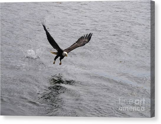 Dinner? Prince Rupert Eagle  Canvas Print