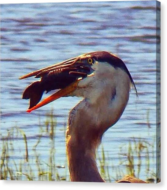 Herons Canvas Print - Dinner Time by Elisabeth Williams