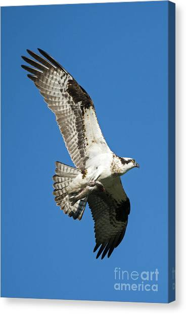 Osprey Canvas Print - Dinner To Go by Mike Dawson