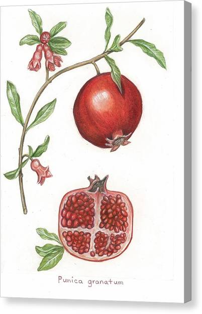 Dissection Of A Pomegranate Canvas Print