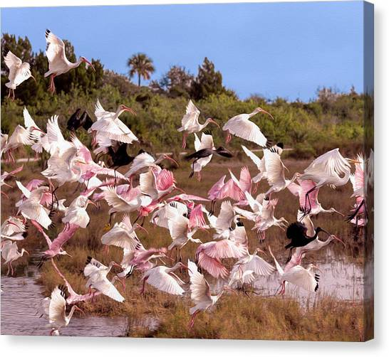Spoonbills Canvas Print - Disturbance by John M Bailey