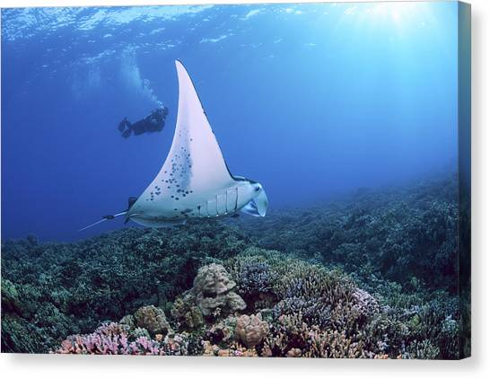 Unique View Canvas Print - Diver And Ray by Dave Fleetham - Printscapes