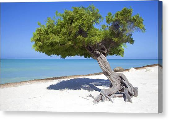 Divi Tree Of Aruba Canvas Print