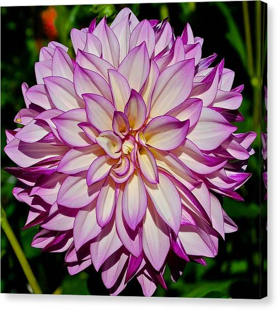 Divine Dahlia Blessings  Canvas Print