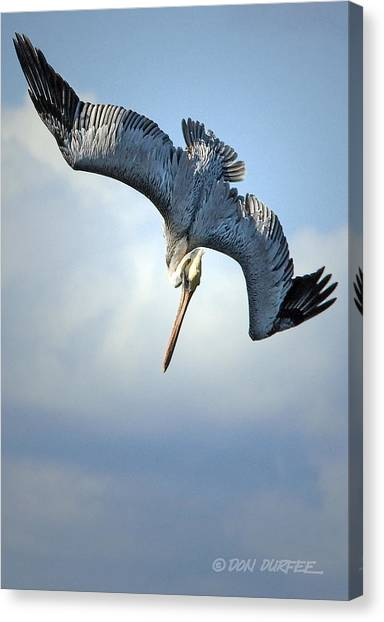 Canvas Print - Diving For Dinner by Don Durfee