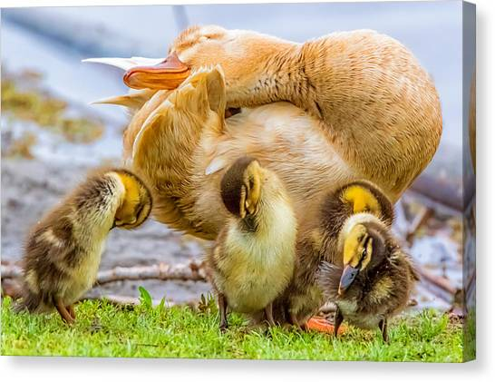 Baby Duck Canvas Prints (Page #8 of 46) | Fine Art America