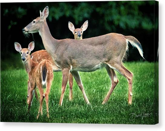 Canvas Print featuring the photograph Doe And Two Fawns by David A Lane