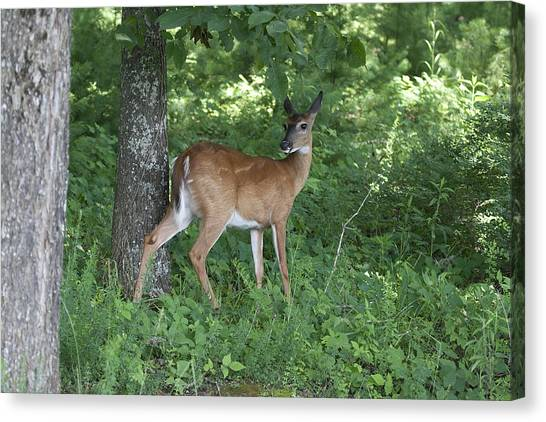 Doe In The Forest Canvas Print by Tina B Hamilton