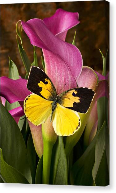 Biology Canvas Print - Dogface Butterfly On Pink Calla Lily  by Garry Gay