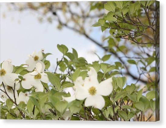 Dogwood Canvas Print by Angie  Wise