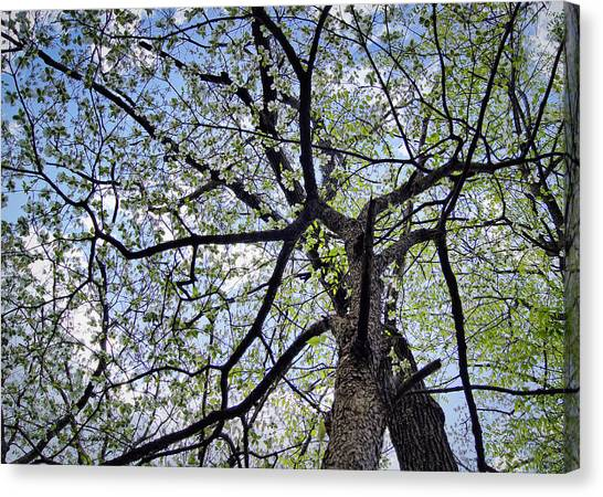 Dogwood Canopy Canvas Print