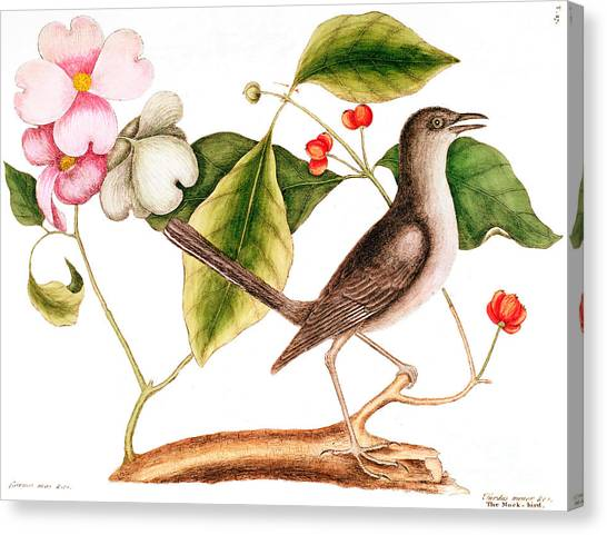 Mockingbird Canvas Print - Dogwood  Cornus Florida, And Mocking Bird  by Mark Catesby