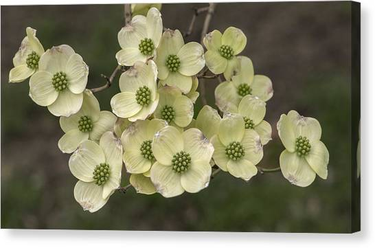 Dogwood Dance In White Canvas Print