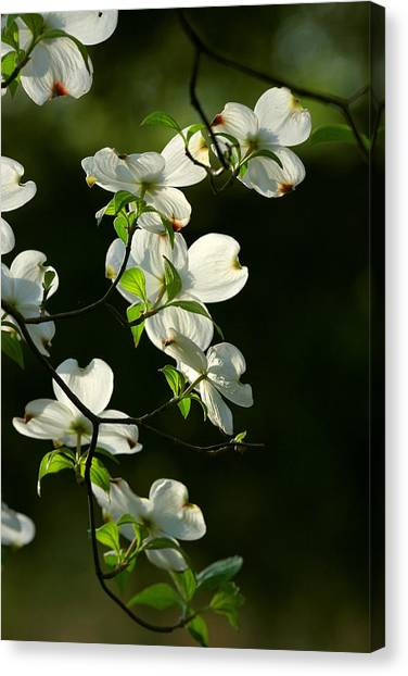 Dogwood Retrospective Canvas Print