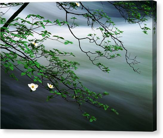 Dogwoods And Merced River Canvas Print by Edward Mendes