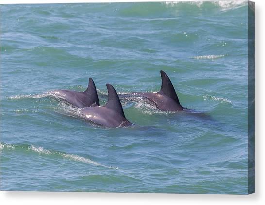 Dolphin Trio Canvas Print