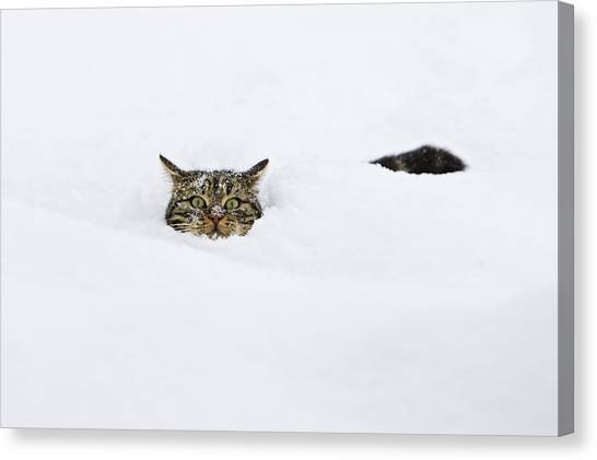 Head And Shoulders Canvas Print - Domestic Cat Felis Catus In Deep Snow by Konrad Wothe