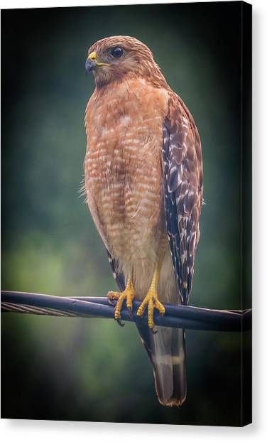 Canvas Print featuring the photograph Dominique The Hawk by Michael Sussman