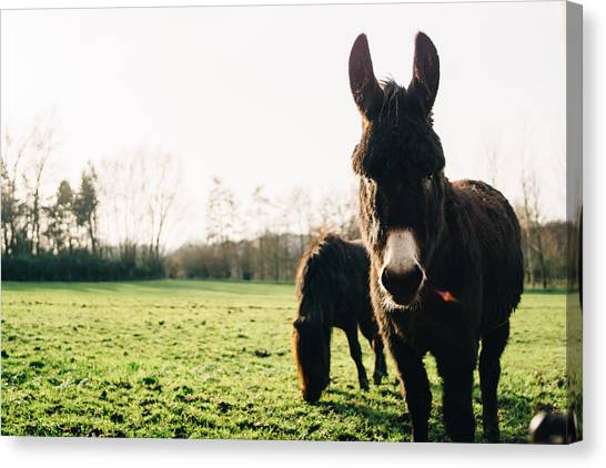 Donkeys Canvas Print - Donkey And Pony by Pati Photography