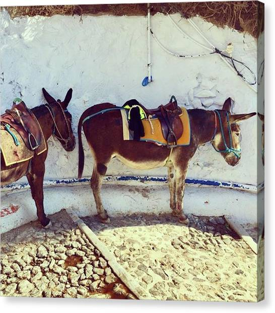 Donkeys Canvas Print - #donkeys #donkeysofsantorini #animals by Christos Mouzeviris