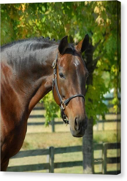Warmblood Horse Canvas Print - Donna Gina by Fran J Scott