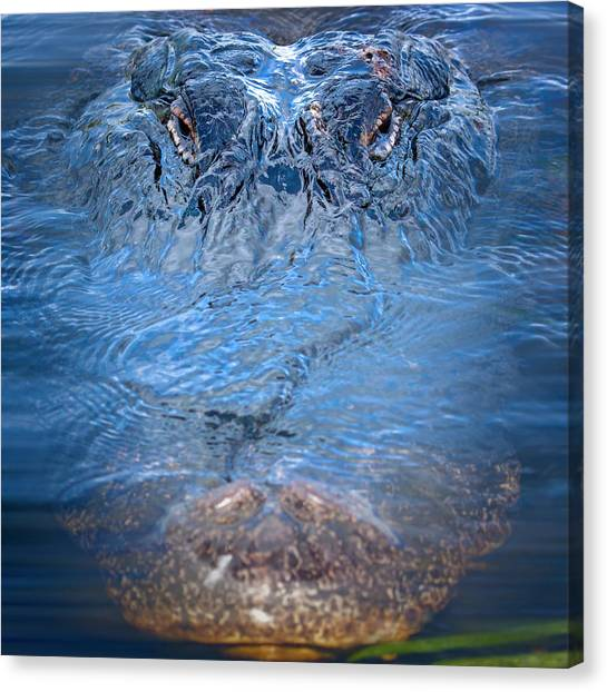 University Of Florida Canvas Print - Don't Feed The Alligator by Mark Andrew Thomas