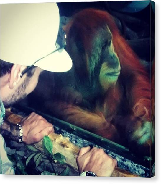 Orangutans Canvas Print - Don't Look At Me! Lol #cincinnatizoo by Shana Hirn