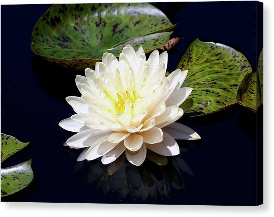 Dotty White Lotus And Lily Pads 0030 Dlw_h_2 Canvas Print