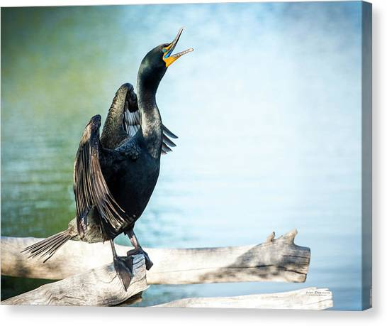 Double-crested Cormorant Canvas Print