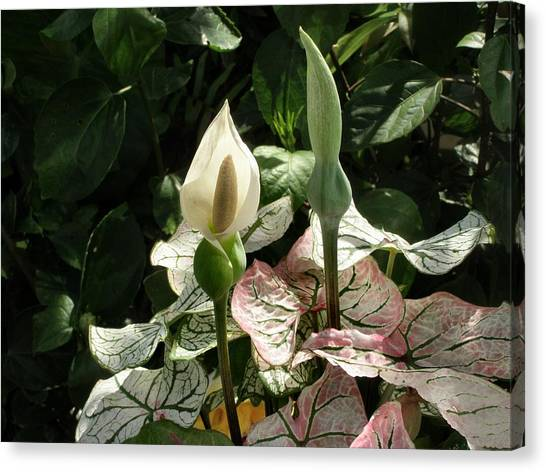 Double Happiness Caladium Canvas Print by Kathy Daxon