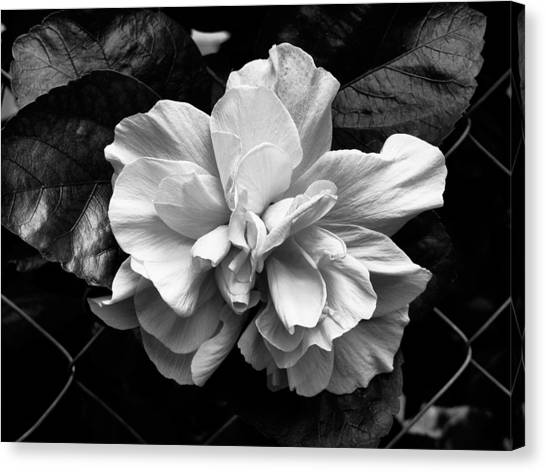 Double Hibiscus Flower Black White Print Canvas Print by Kathy Daxon