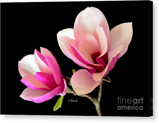 Double Magnolia Blooms Canvas Print