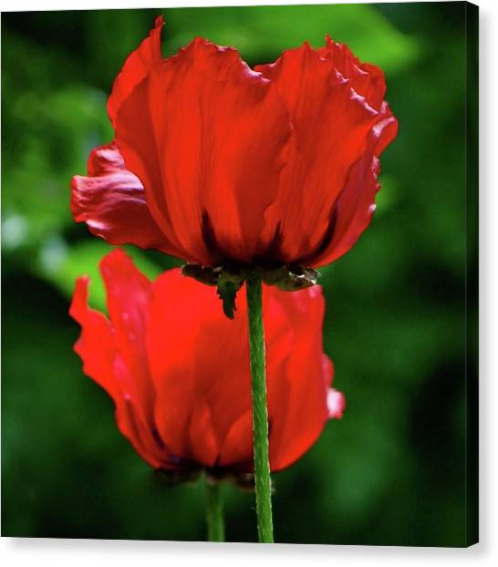 Double Red Poppies Canvas Print