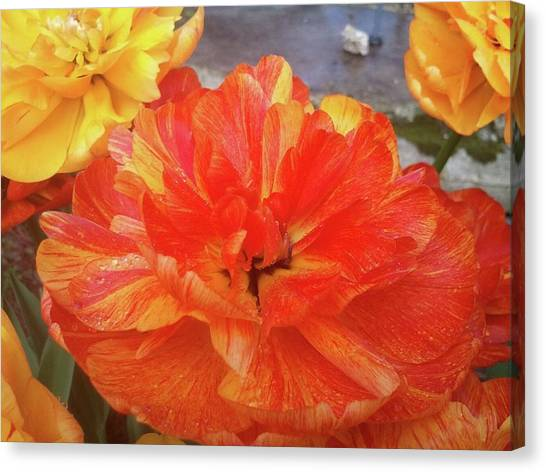 Double Tulip Canvas Print