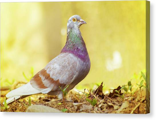 Dove  Standing Close Up Canvas Print