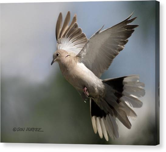 Canvas Print - Dove Takeoff by Don Durfee