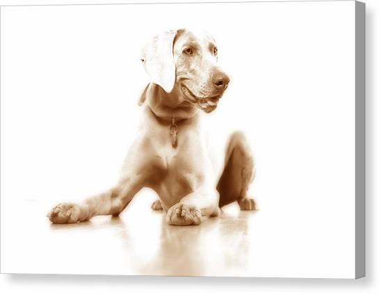 Weimaraners Canvas Print - Down by Nancy Ingersoll
