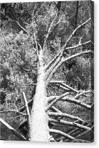 Down Tree Canvas Print by Derek Clark