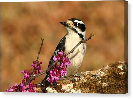Downy Woodpecker In Spring Canvas Print