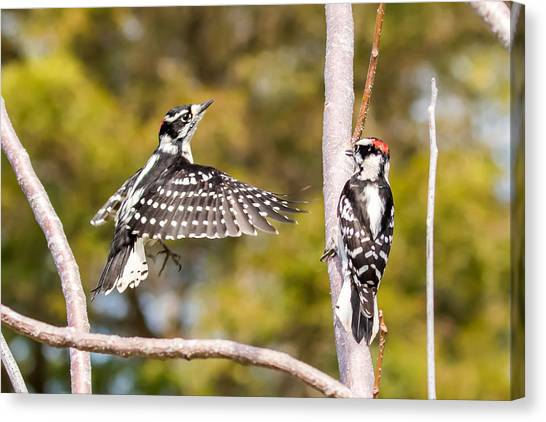 Downy Woodpecker Showoff Canvas Print