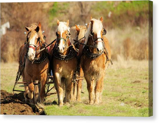 Draft Horses Canvas Print - Draft Horses by Jeff Swan